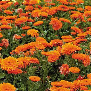 Pot Marigold Mandarin Twist