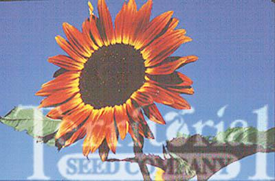 Sunflower-Red Sun