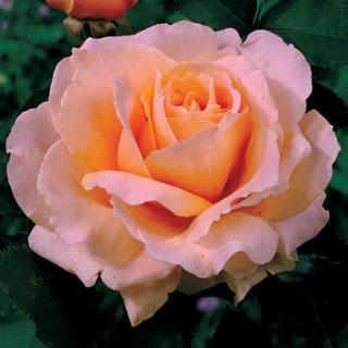 Just Joey 36-inch Patio Tree Rose