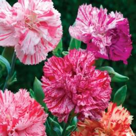 Chabaud Picotee Fantasy Mix - Carnation