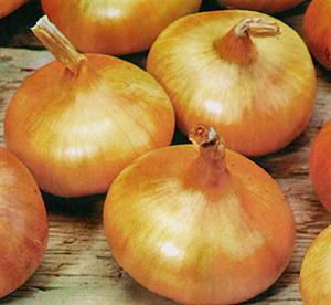 Onion, Giant Zittau, Bulb