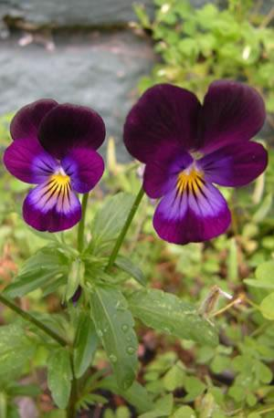 Heartsease-Wild Pansy
