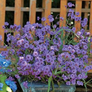 Verbena Touch of Style