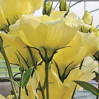 Lisianthus Cinderella Yellow