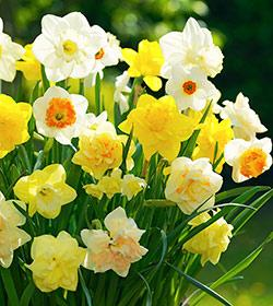 SOLD OUT Mixed Daffodils - 10 bulbs