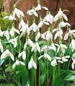 SOLD OUT Woronowii Galanthus - 10 bulbs