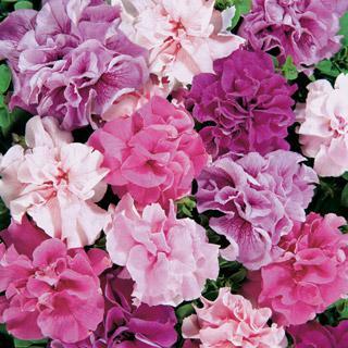 Petunia Double Cascade Hybrid Mix