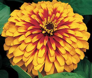 Zinnia Swizzle Scarlet and Yellow