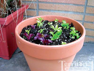 Pot & Patio Lettuce Blend