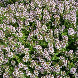 Herb Thyme Orange Scented