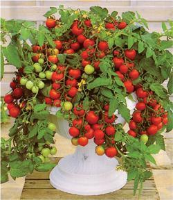 Tomato Maskotka (Bush/Basket)