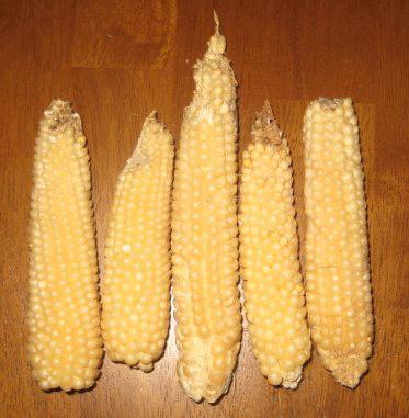 Popcorn, Japanese Hulless