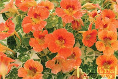 Nasturtium-Alaska Apricot