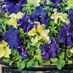Petunia 'Blueberry Lime Jam Fuseables'