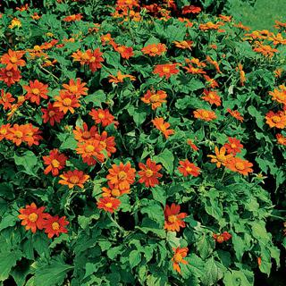 Mexican Sunflower Fiesta Del Sol