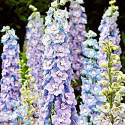 Delphinium x. cultorum 'Centurion Lilac Blue Bicolor F1 Hybrid'