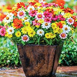 Zinnia Amp Zinnia Reviews Seedratings Com