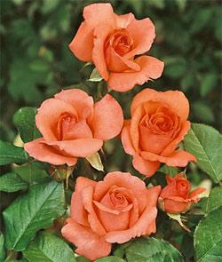 America Climbing Rose - 1 bare root plant
