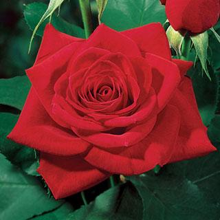 Olympiad 36-inch Patio Tree Rose