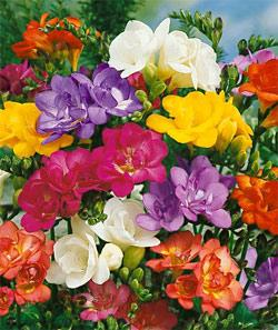 SOLD OUT Mixed Double Freesia - 25 bulbs