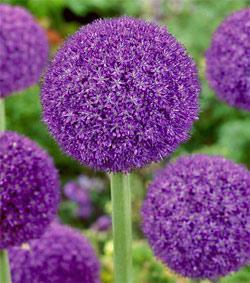 SOLD OUT Ambassador Allium - 1 bulb