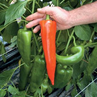 Pepper Atris Hybrid