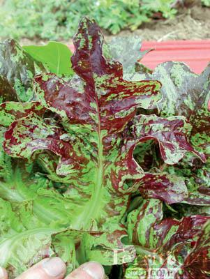 Flashy Butter Oak Lettuce Organic