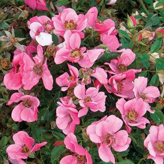 Party Dress Pink Groundcover Rose