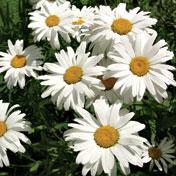 Chrysanthemum, Shasta Daisy