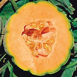 Melon  Orange Sherbet F1 Hybrid