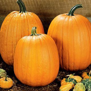 Pumpkin Howden