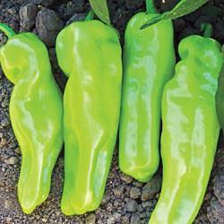 Cubanelle Sweet Pepper