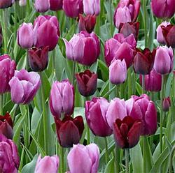 SOLD OUT Mixed Mauve Darwin Hybrid Tulip - 10 bulbs
