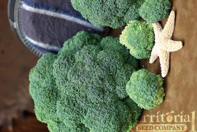 Belstar Broccoli