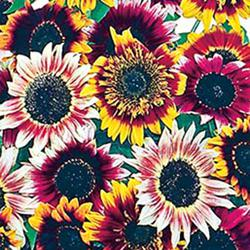 Bohemian Rhapsody Mix Sunflowers