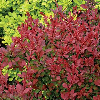 Sunjoy® Cinnamon Berberis Barberry Shrub