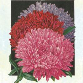 Giant Perfection Mix - Asters