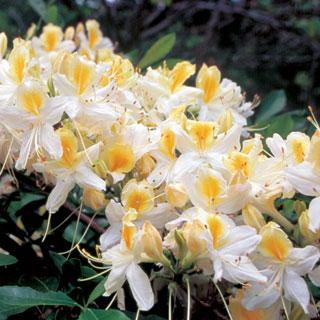 Northern Hi-Lights Rhododendron Shrub