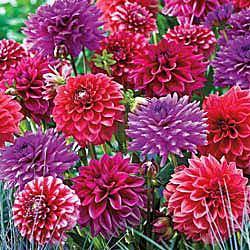 Romantic Decorative Dahlia Mixture