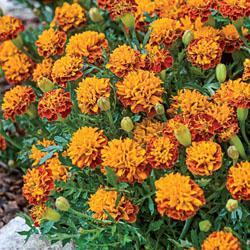 Marigold patula 'Mowgli Bi-color'