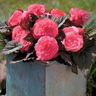 Begonia Nonstop® Mocca Pink Shades
