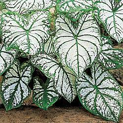 White Christmas Caladium