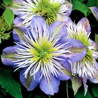 Crystal Fountain Clematis Plant