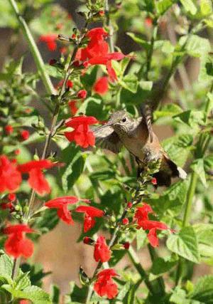 Hummingbird Mix, Special Purpose Wildflower Mix