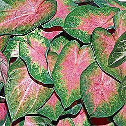 Fancy Leaf Caladium Kathleen