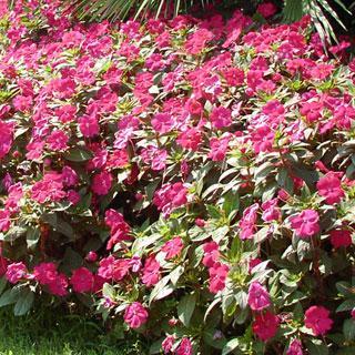 Impatiens Magenta SunPatiens® Annual Plant