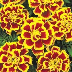 Marigold - Durango Bee