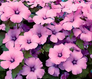 Lavatera Twins Hot Pink