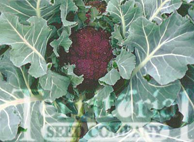 Purple Cape Cauliflower