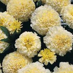 Marigold erecta 'Kilimanjaro White'